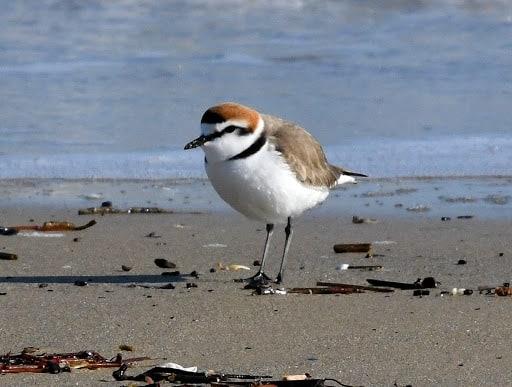 Il nido del fratino è stato ritrovato a Caorle, nella spiaggia libera di Falconera